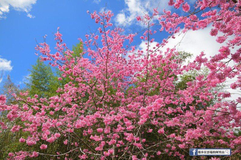 位於頂湖的昭和櫻,目前已成一片粉紅美景。圖/漫步在雲端的阿里山粉絲團授權使用