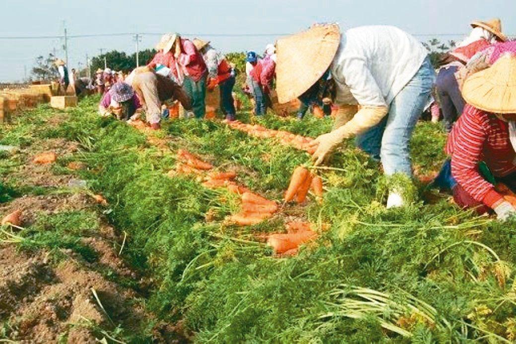 胡蘿蔔成熟時,將軍區農會將在3月6、7日舉辦「蘿蔔庄田園體驗活動」。將軍區...