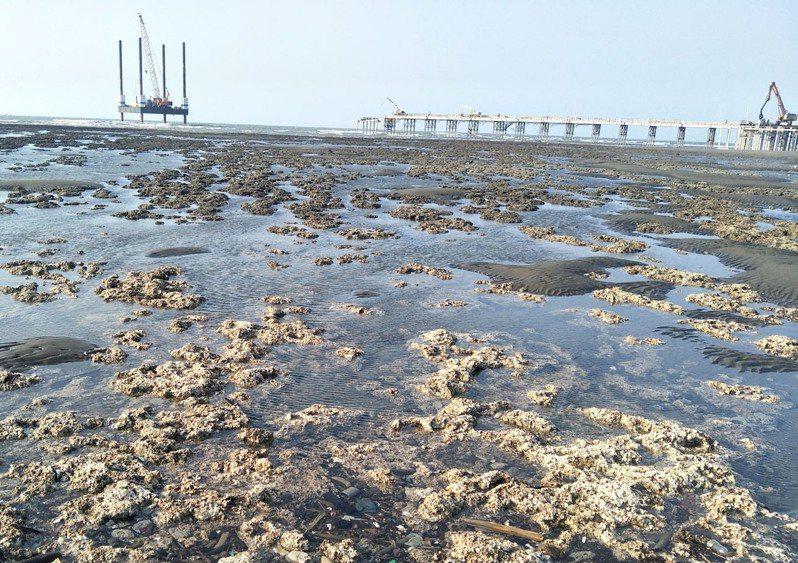桃園市觀塘大潭藻礁(見圖)淺海珍貴藻礁,疑中油三接施工破壞。本報資料照片