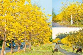 屏東吹起黃金風暴!超亮眼「黃花風鈴木」景點曝光,把握時機追花去