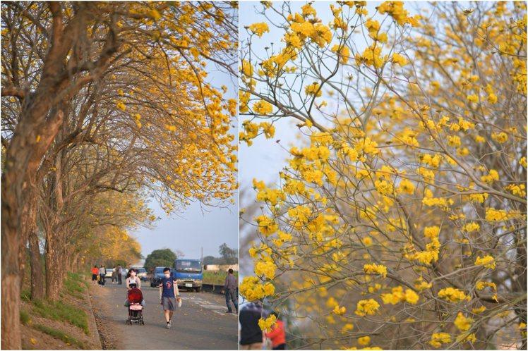 朴子溪黃花風鈴木初步盛開,最佳花況仍需要一段時間。圖/FB網友Starry Sk...