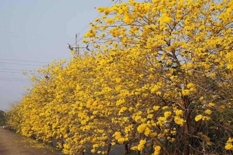 中南部3月掀起追黃花熱潮。圖/IG@sky660311授權
