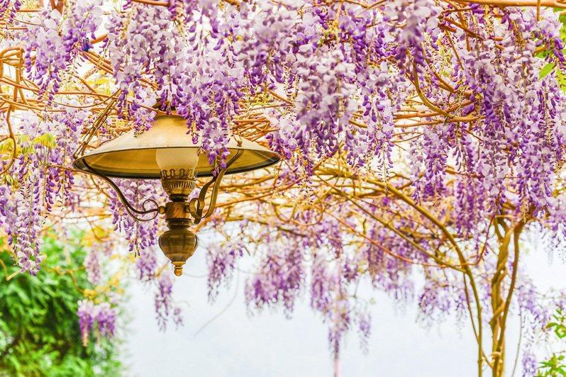 嘉義梅山紫藤花之旅可享買1送1的優惠。圖/可樂旅遊提供