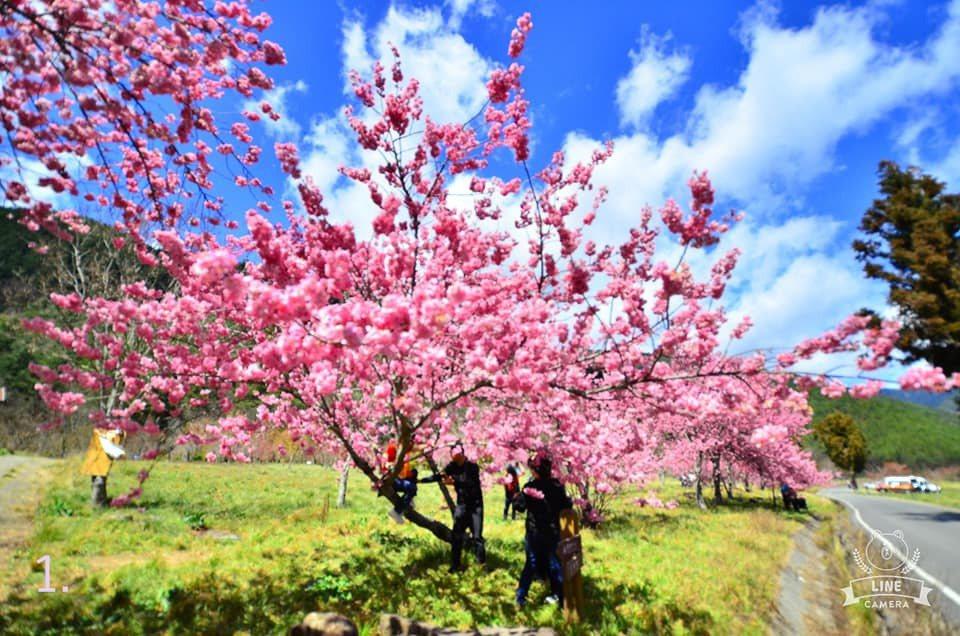武陵農場有遊客爬上樹拍櫻花照。圖/武陵農場提供