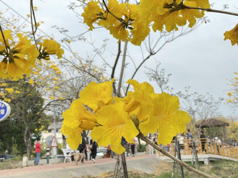 嘉市八掌溪河堤的黃金風鈴木目前正盛開。記者林伯驊/攝影