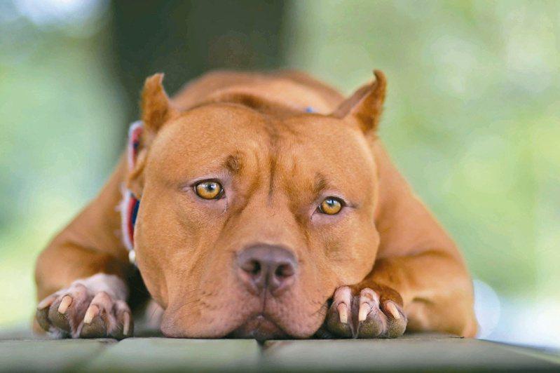 比特犬是農委會公告危險犬種,本報追查發現,比特犬飼養並未落實植入晶片登記不實,各地動保處陸續收容到流浪的比特犬,顯示惡犬管理有漏洞。美聯社