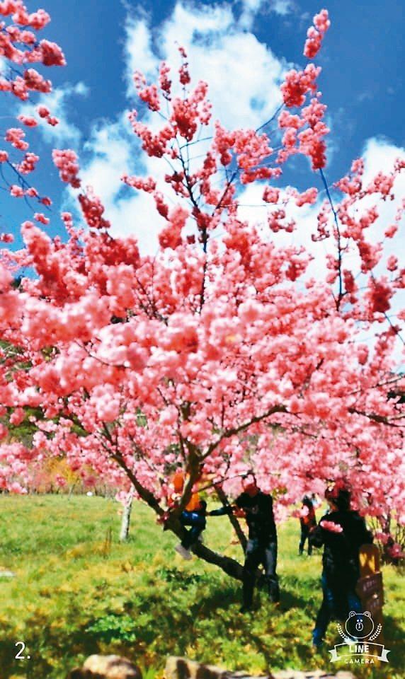 武陵農場櫻花大爆發,但有遊客爬上櫻花樹拍照挨批。圖/武陵農場提供