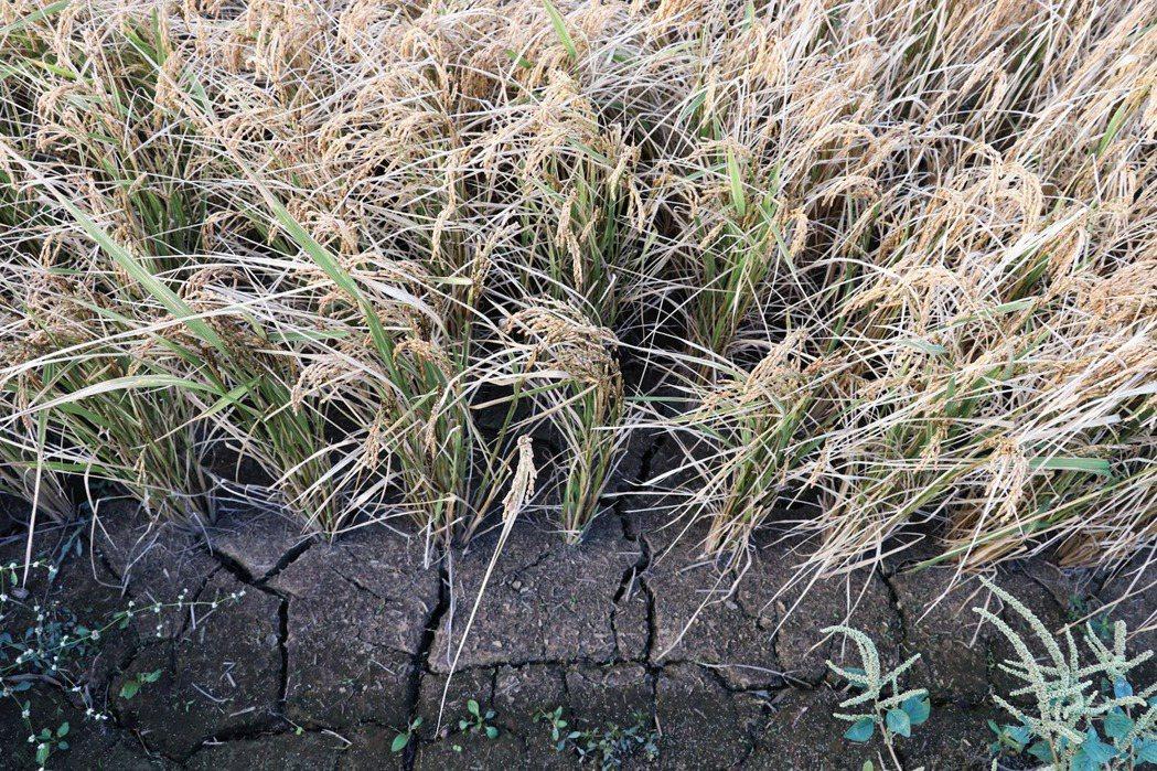 受乾旱及停灌影響,本該濕潤的土壤,龜裂紋路清晰可見。攝影/萬巧蓉