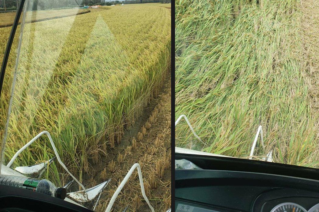 正常供水下的稻作(左)直立,而缺水的稻作(右)多傾倒,增加割稻業者負擔。圖/魏春...