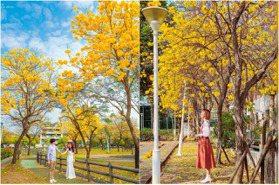 台中2處「黃色棉花糖」爆發中!黃花風鈴木渲染成「最貴黃金公園」