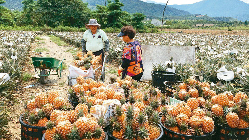 鳳梨銷陸禁令已於3月1日生效。本報資料照片