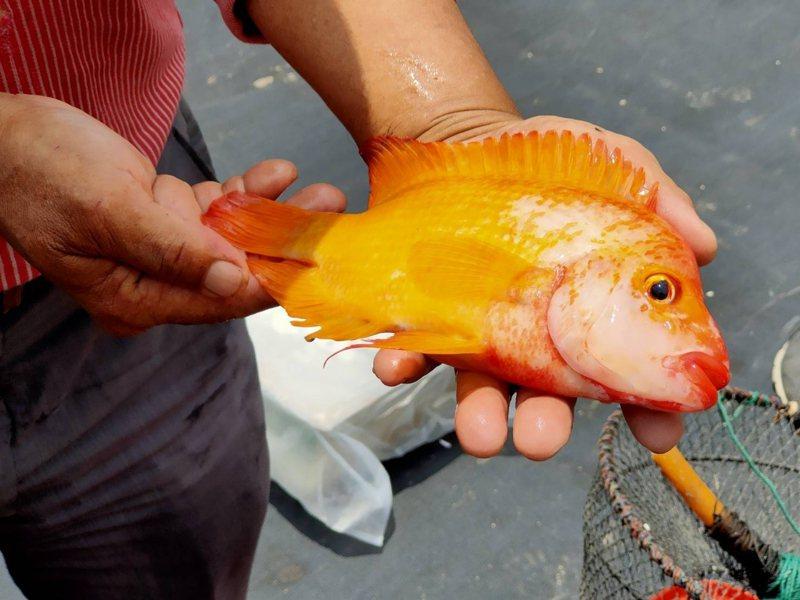 「紅魔鬼」以蝦類為主食,導致日月潭潭蝦數量大幅減少。圖/讀者提供