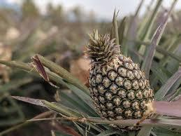大陸對台下鳳梨禁令,外界認為要開拓其他市場,專家認為,上開拓國際新市場,並非容易...