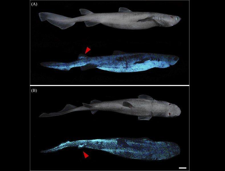 紐西蘭外海出現三種會自體發光的鯊魚。截自海洋科學前沿期刊