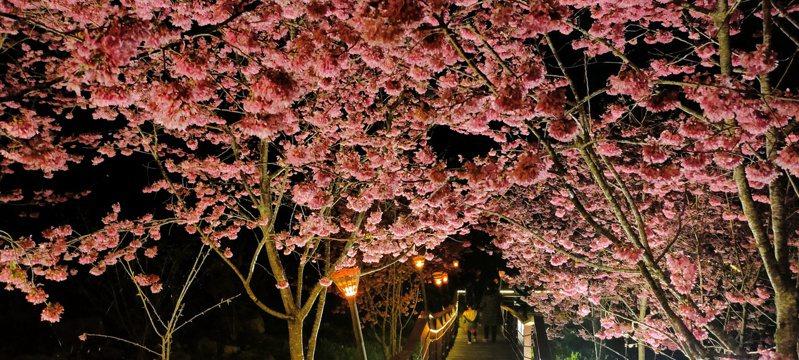 阿里山櫻之道昨晚舉辦春櫻夜茶會,為阿里山夜櫻祭揭開序幕。記者莊祖銘/攝影