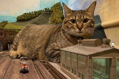 「巨貓圖」爆紅!鐵道模型餐廳養的流浪貓 挽救了倒店危機