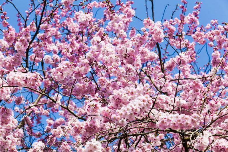 日本民間氣象公司今天公布最新櫻花開花預測,今年全日本染井吉野櫻都將較往年提早開花,福岡市可能在本月13日、東京都市中心可能在15日開花。櫻花示意圖/ingimage
