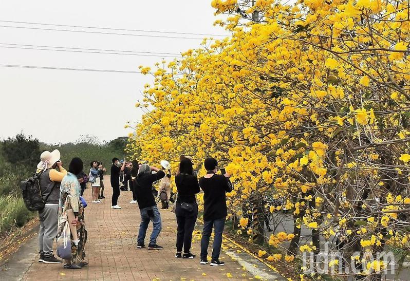 嘉縣民雄鄉秀林村林仔尾堤防,黃花風鈴木爆開如「黃金雨瀑」,吸引許多人賞花拍照。記者卜敏正/攝影