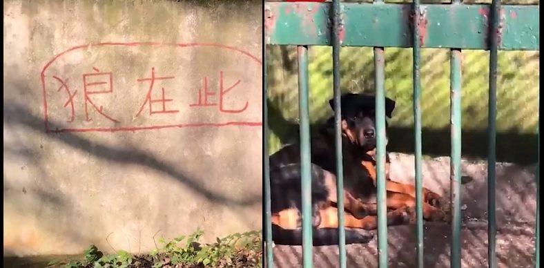 湖北咸寧一家動物園鬧出「以狗代狼」疑雲,動物園管理人員,對方說狼年紀太老已經去世...