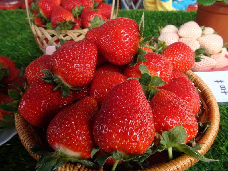台中市潭子草莓世界目前2、3期花重疊,進入盛產期,不僅產量高、價格也相對較低。記者余采瀅/攝影