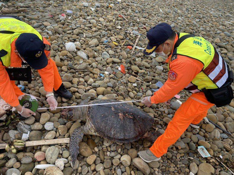 一隻綠蠵龜昨天被發現陳屍在苗栗縣後龍鎮外埔漁港北側的海岸,海巡人員協助進行量測。圖/第三岸巡隊提供