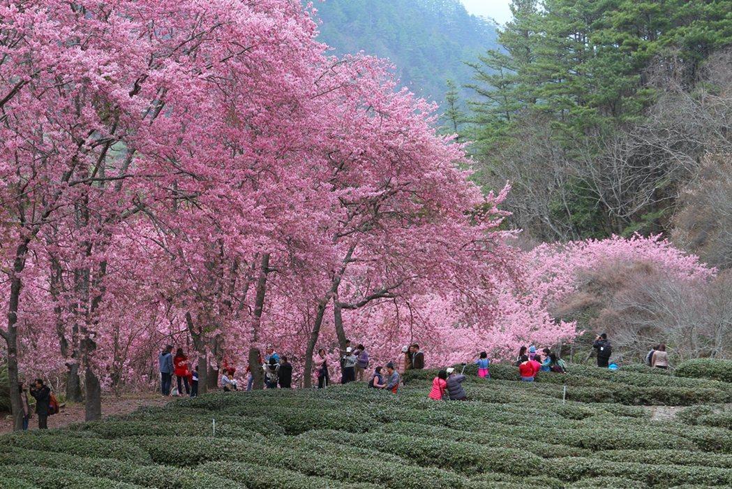美麗的粉紅花球開滿枝頭,襯著藍天白雲,武陵農場宛如真實版的桃花源。 圖/雄獅旅遊...