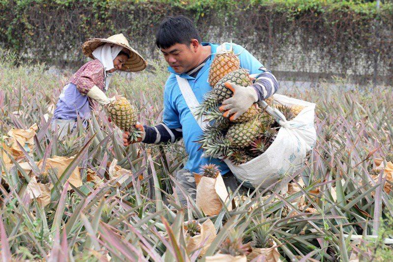 屏東高樹金鑽鳳梨這個月起開始進入採收期,農民希望政府能夠有產銷通路。記者劉學聖/攝影