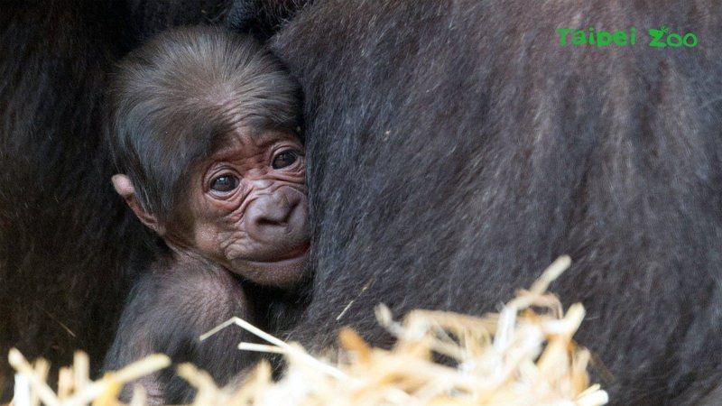 從北市立動物園移居荷蘭阿培浩靈長類公園的金剛猩猩「寶寶」當爸,適逢靈長類公園開園50年、喜迎第50隻金剛猩猩寶寶。圖擷自台北市立動物園