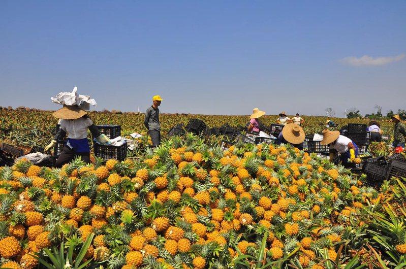 被譽為「中國菠蘿之鄉」的廣東徐聞縣鳳梨進入採收季,傳出收購價創近30年新高。(取自廣州日報)