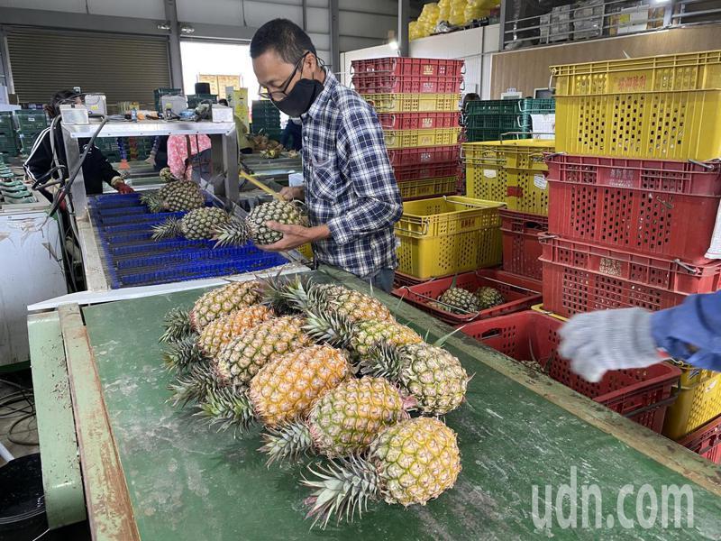鳳梨選果包裝封箱。記者劉星君/攝影