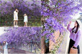 紫爆!整排「錫葉藤花墻」開好開滿免費拍 南投最壯觀的紫色隧道
