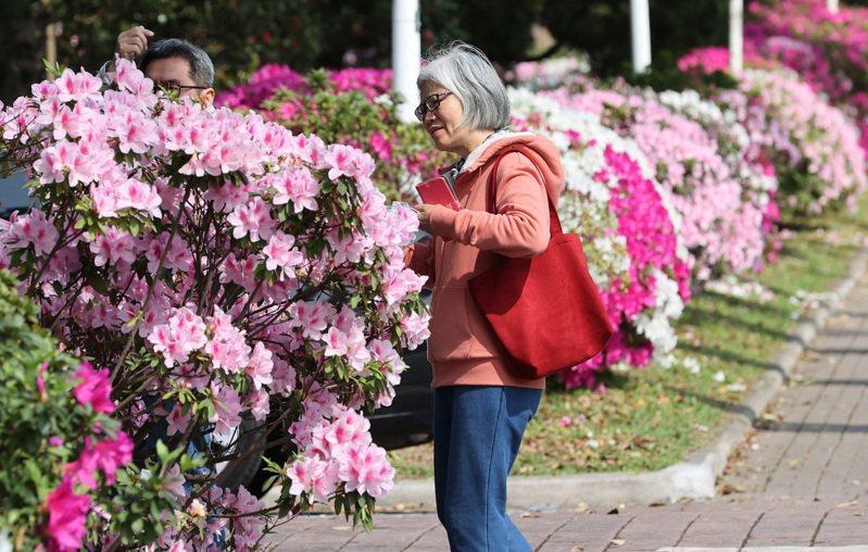 台大杜鵑花今年已盛開,吸引不少民眾駐足觀賞、拍照。記者潘俊宏/攝影