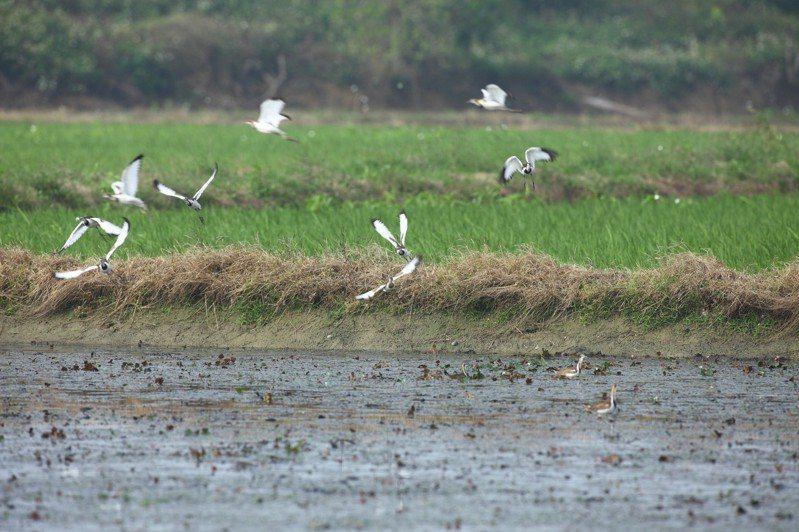 保育類台南市鳥水雉因乾旱缺水生存受威脅。圖/農業局提供