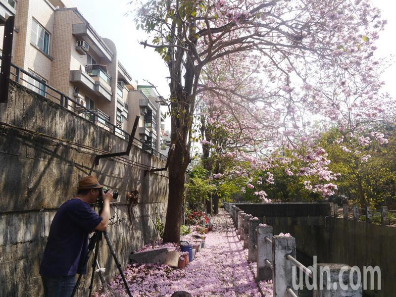 高雄燕巢區中興橋畔的紅花風鈴木進入花期,吸引攝影愛好人士來拍照。記者徐白櫻/攝影