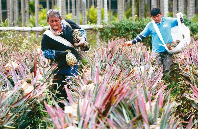 屏東高樹金鑽鳳梨進入採收期,工人每天從早到晚辛苦採收大量成熟鳳梨。圖/聯合報系資料照片