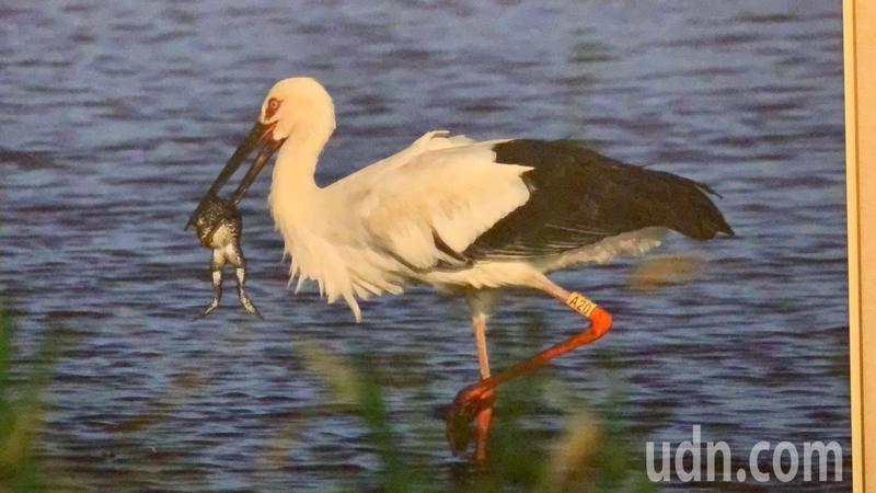 拍鳥俱樂部會員精彩作品。記者吳淑玲/攝影