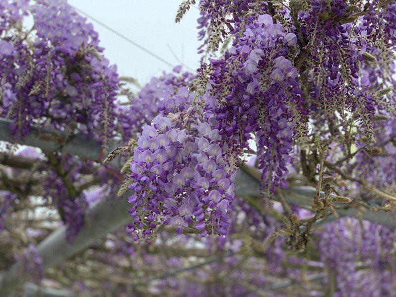 阿里山石棹民宿區紫藤花盛開,飄香陣陣令人流連忘返。圖/洪銀盛提供