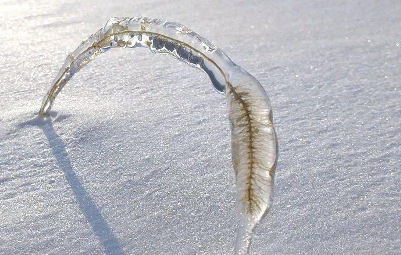 一位日本網友在北海道,拍到狗尾草凍成冰塊,有如「天然標本」般的美麗奇景。圖擷取自twitter