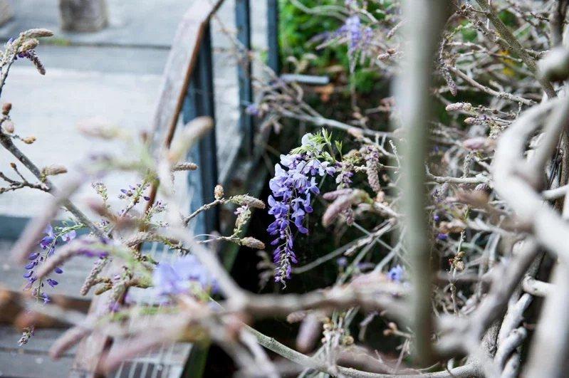 阿里山石棹民宿區紫藤花盛開,陣陣花香令人流連忘返。  圖/洪銀盛提供