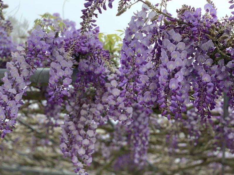 阿里山石棹民宿區紫藤花盛開,飄香陣陣令人流連忘返。  圖/洪銀盛提供