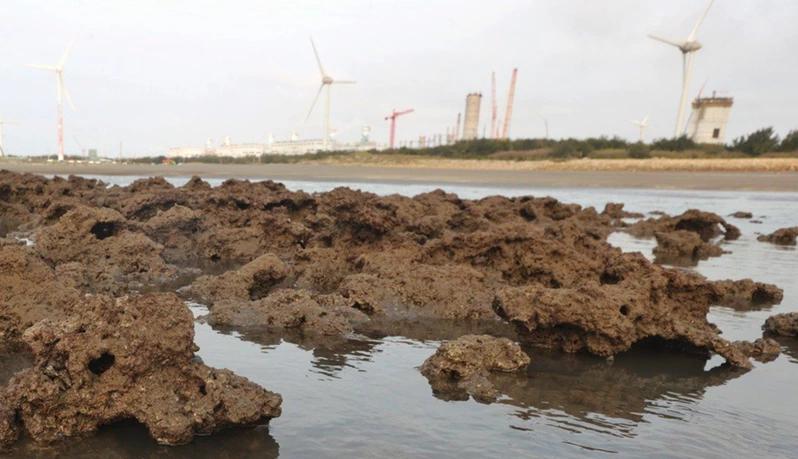 藻礁。本報資料照