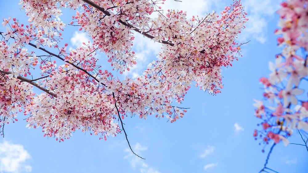 花旗木,又名「桃紅陣雨樹」,遠看如櫻花。 圖/蔡嘉瑋 攝影