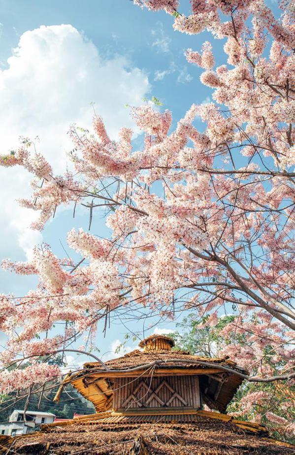 春遊粉紅花海,漫步其間好浪漫。 圖/蔡嘉瑋 攝影