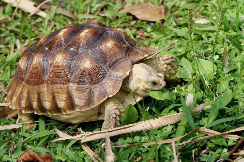 漂亮烏龜的賞花的飼主,帶著牠來吃吃草,好可愛乾淨的烏龜,主人照顧的不錯喔!