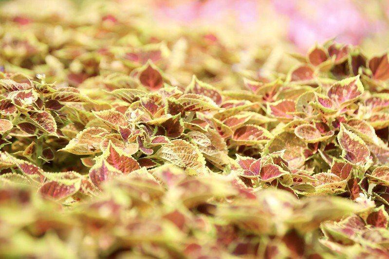 柔焦背光下的彩葉草,葉片的顏色柔和典雅。