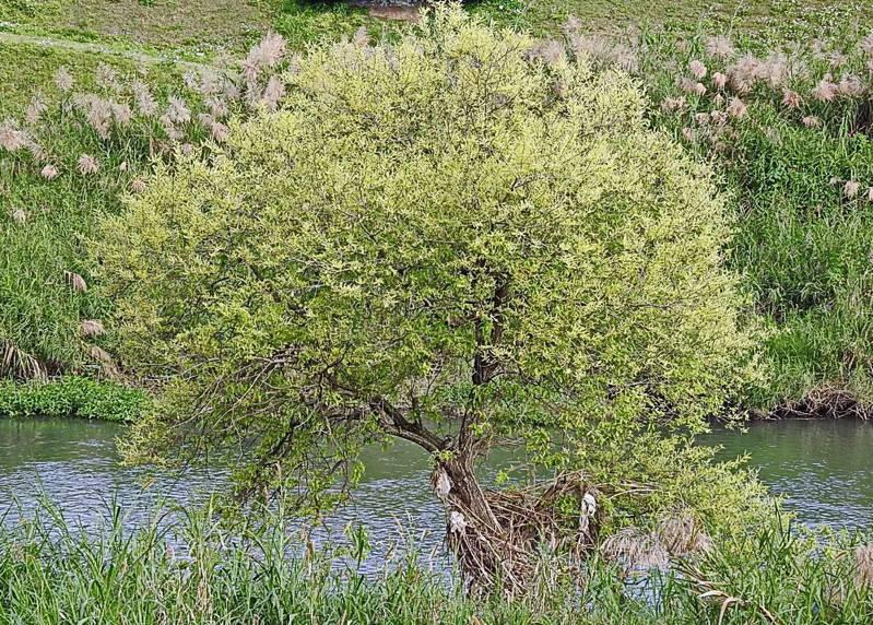 瀕臨絕滅的台灣原生特有種「水社柳」,又稱「金柳」。最近在宜蘭河永金一號橋河畔被發現,屬於少見的野生種,枝椏開了一串串的「長穗花」,在陽光照射下,花蕊閃閃發光,綻放美麗金黃。圖/沈姓讀者提供