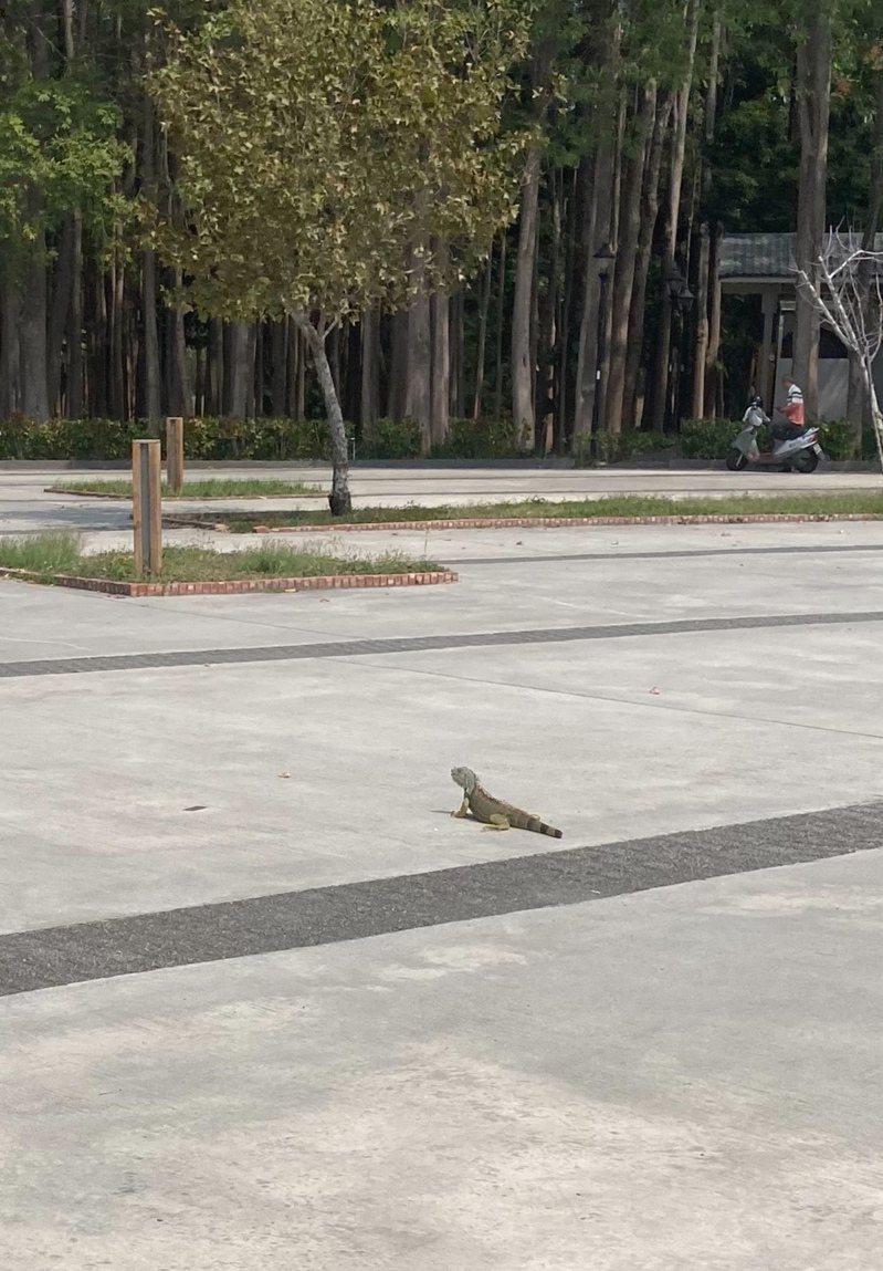 嘉義市民昨天中午在北香湖公園旁發現綠鬣蜥。圖/讀者提供