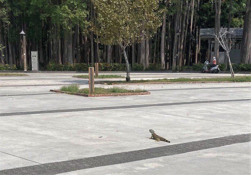 嘉義市北香湖公園旁前天出現1隻綠鬣蜥,導致1名女子騎機車經過嚇得緊急煞車、摔倒,居民憂心綠鬣蜥已入侵市區公園。圖/讀者提供