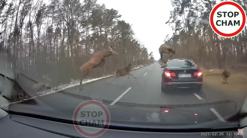 一位外國駕駛在林間道路行駛時,突然遭遇大量鹿隻橫越馬路,驚險過程影片曝光後吸引了上千萬網友點閱。圖擷取自youtube