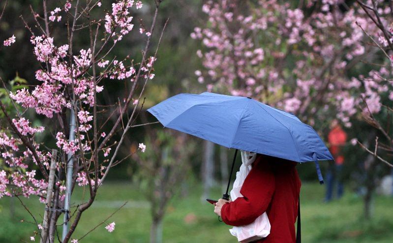 圖為假日民眾撐傘到市區公園欣賞花季近尾聲的富士櫻。記者侯永全/攝影